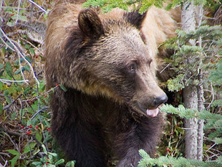 2016 Poised To Be Deadliest Yet for Yellowstone Grizzly Bears