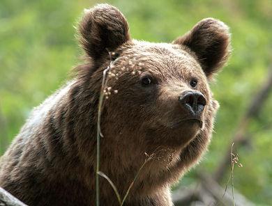 Big-Eared Bear