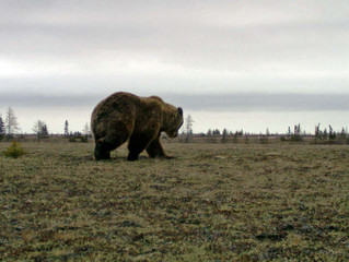 The Grizzlies of Wapusk: an Unfolding Story of Change