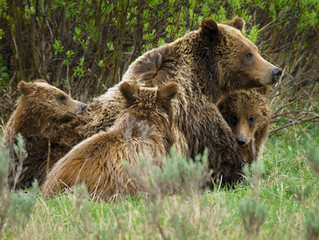 Playing Russian Roulette with Grizzly Matron 399 and the Bears of Yellowstone, Part 1