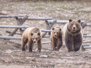 Celebrating the Quintessential Grizzly Mom on Mothers' Day