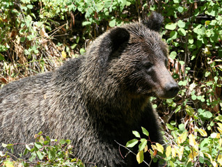 New Fire in the Battle for Yellowstone's Grizzly Bears