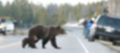 grizzly bear family in traffic