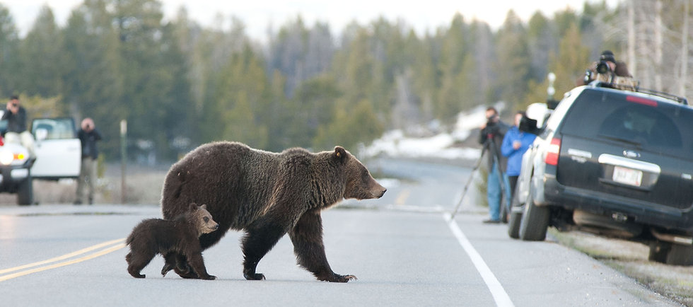 yellowstone national park grizzly bear family in traffic