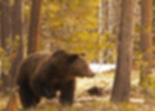 Grizzly bear in his ancestral home