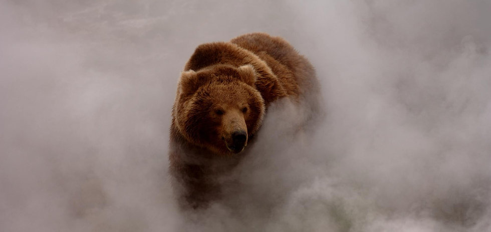 grizzly bear in fog