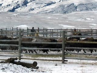 Yellowstone Buffaloes' Last Stand