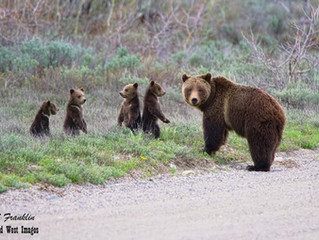 Grizzly Miracle: Grand Teton's 399 Emerges with Quadruplets