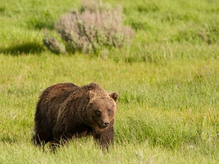 Tracking the Grizzly's Number One Killer