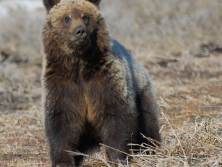 Grizzlies Symbolize Transformation, And Challenge Us to Transform Governance