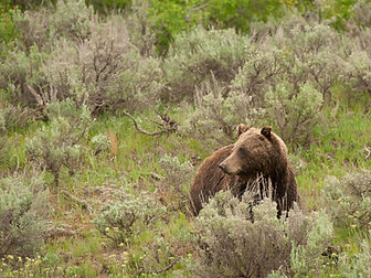Yellowstone grizzly bear photo by Roger Hayden
