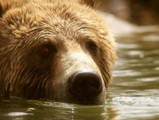 Government Threatens Yellowstone Grizzly Bear's Future in Push to Delist
