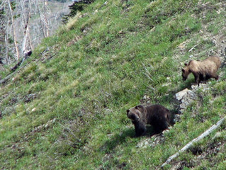 Restoring the Grizzly in the North Cascades: Their Time Has Come