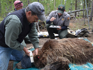 Partisan Scientists in Public Service I: The Strange Case of the Interagency Grizzly Bear Study Team