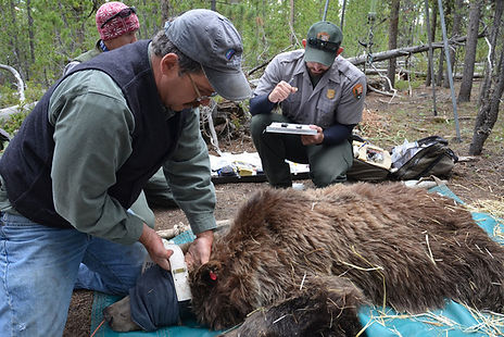 drugged grizzly bear