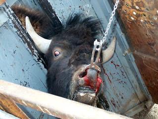 Yellowstone Buffalo Atrocities