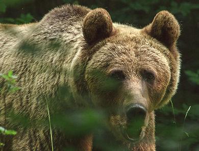 Big-Eared Bear 2
