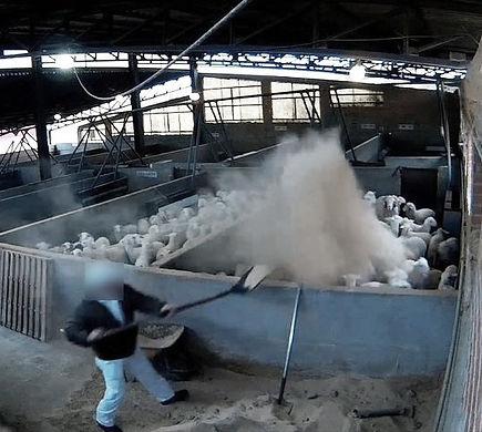 Trabajador arrojando arena sobre corderos