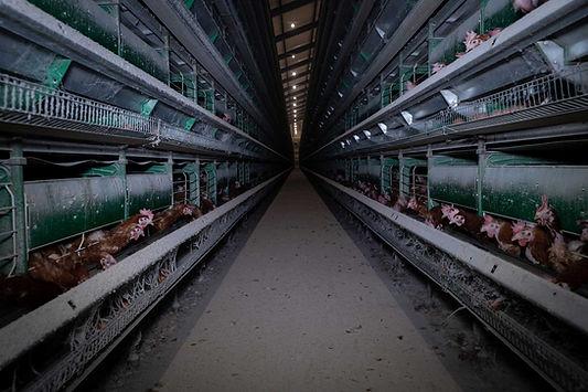 Sistema-de-cría-de-gallinas-en-jaulas.jp
