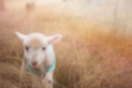 cordero-bienestar-animal.jpg
