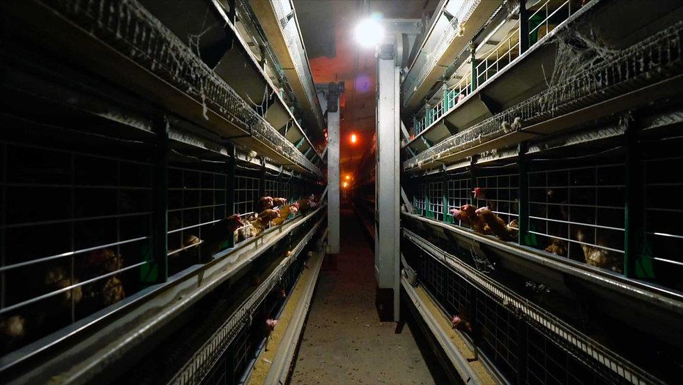Granja-de-cría-intensiva-de-gallinas-en-