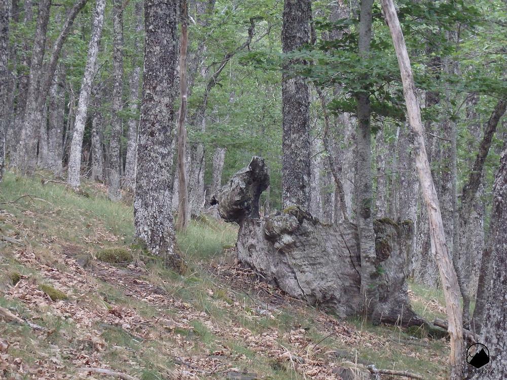 Curioso tocón de árbol que se asemeja a un rostro humano