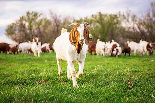 Mindy Andres Goat.jpg
