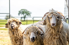 sheep-heads.jpg