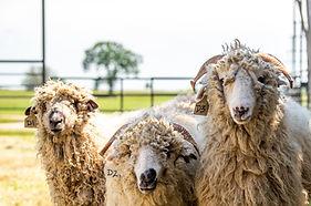 sheep-heads.jpg