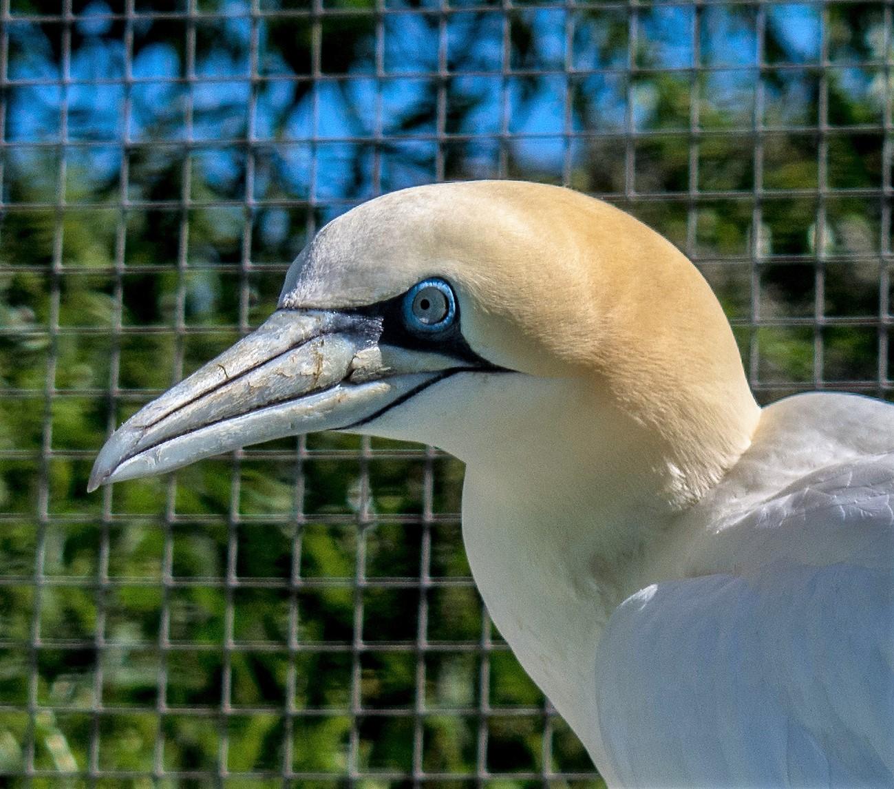 Gannet 8