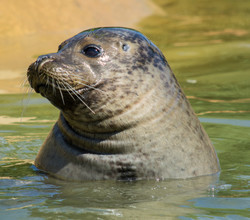Seal in Pool 3