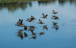 Geese Flight 12