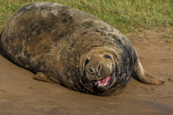 Laughing Seal 7