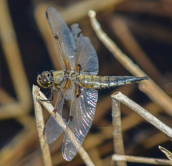 Four Spotted Chaser 16