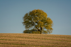 Tree and Stubble 5