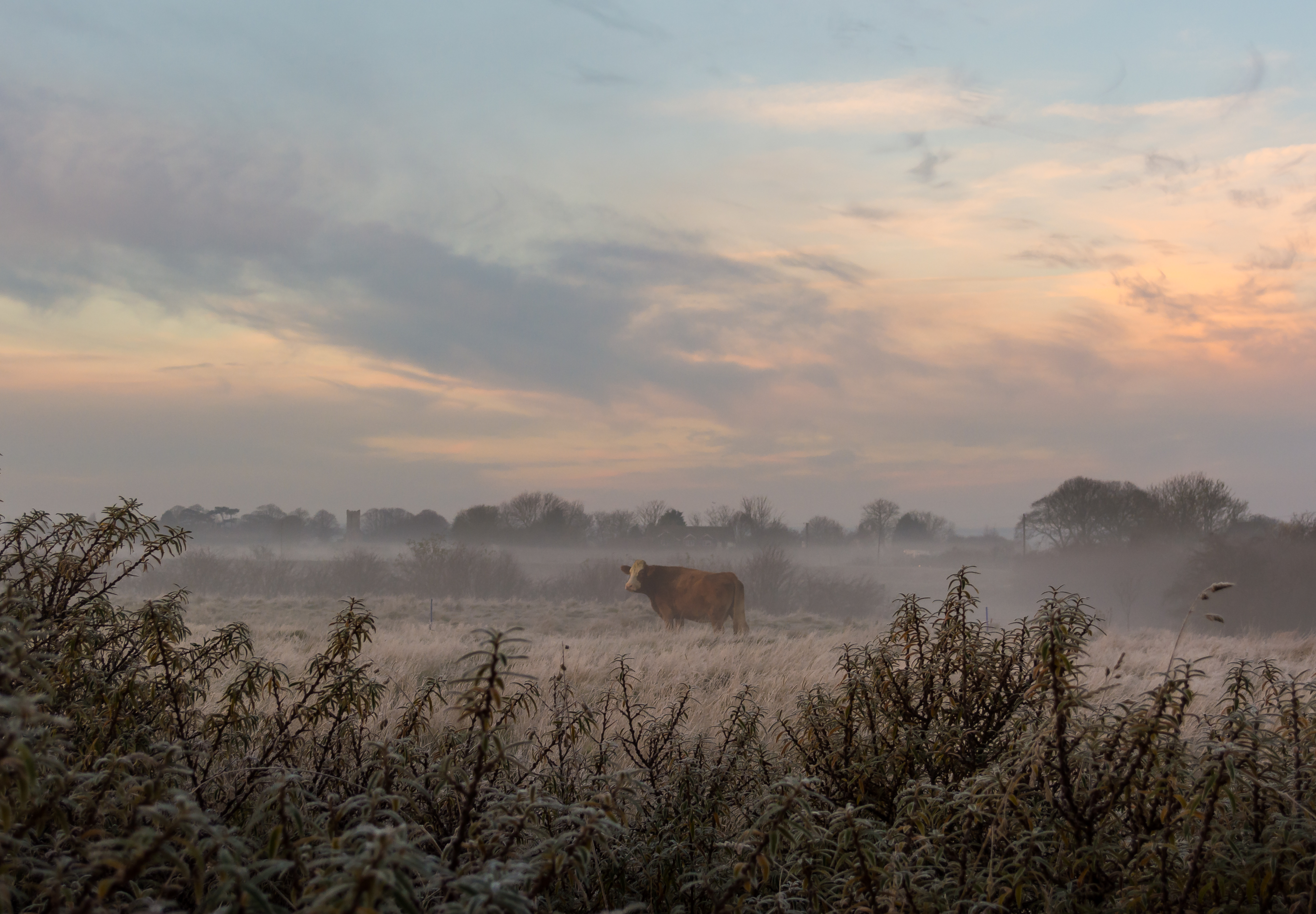 Cow in Mist 4
