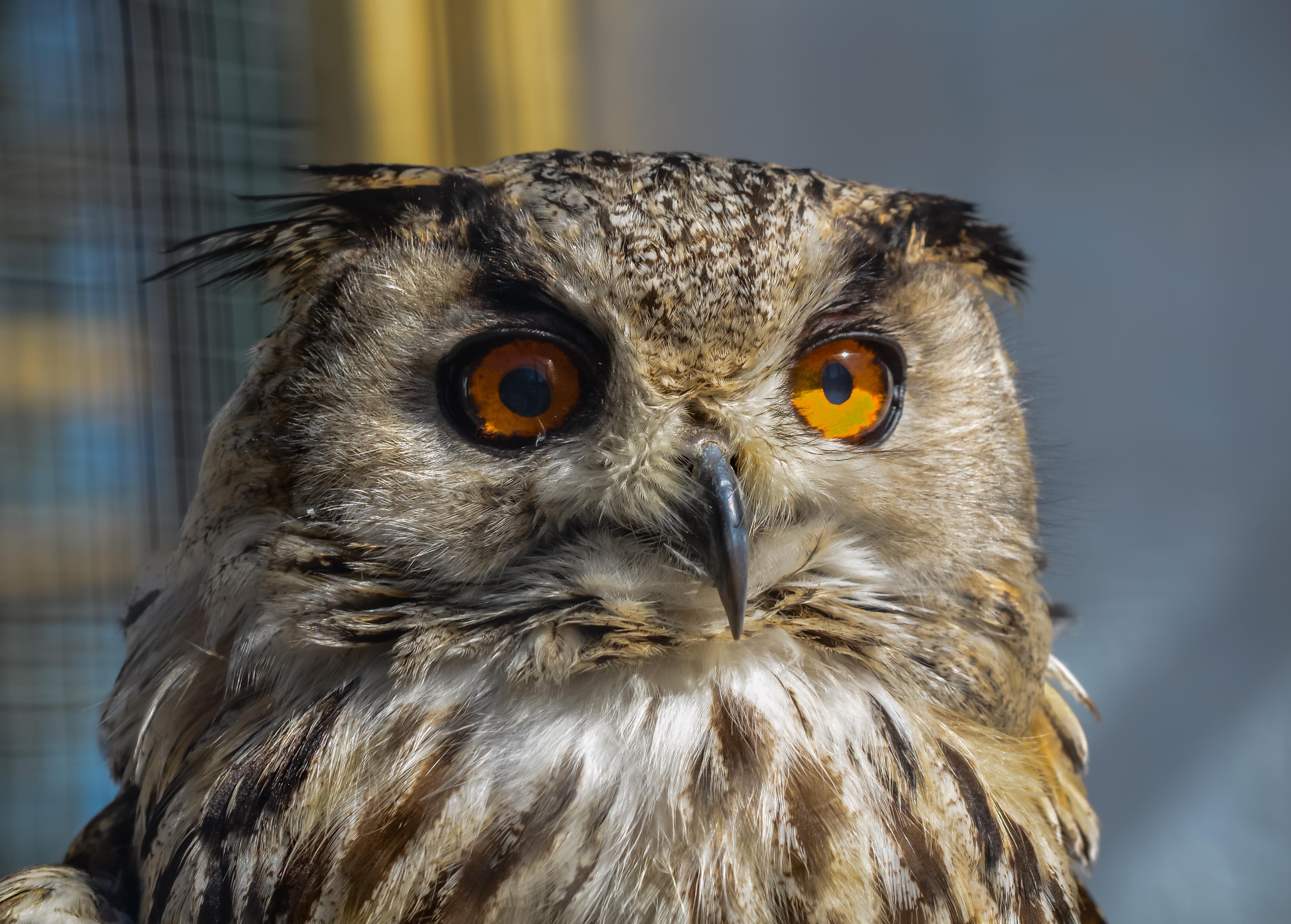 Eagle owl 11