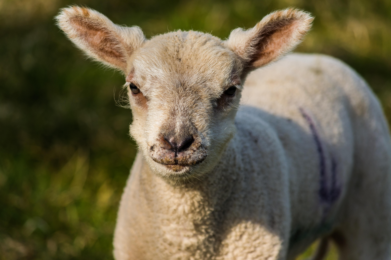 Lamb 16