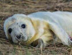 Seal Pup 10