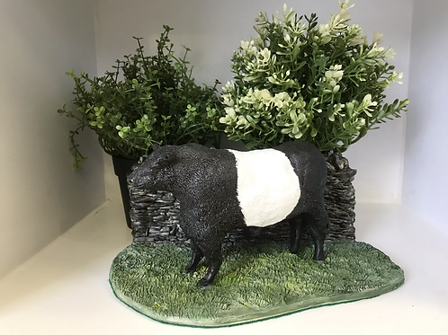 Belted Galloway Bull