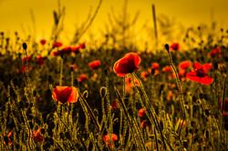 Sunset Poppies 10
