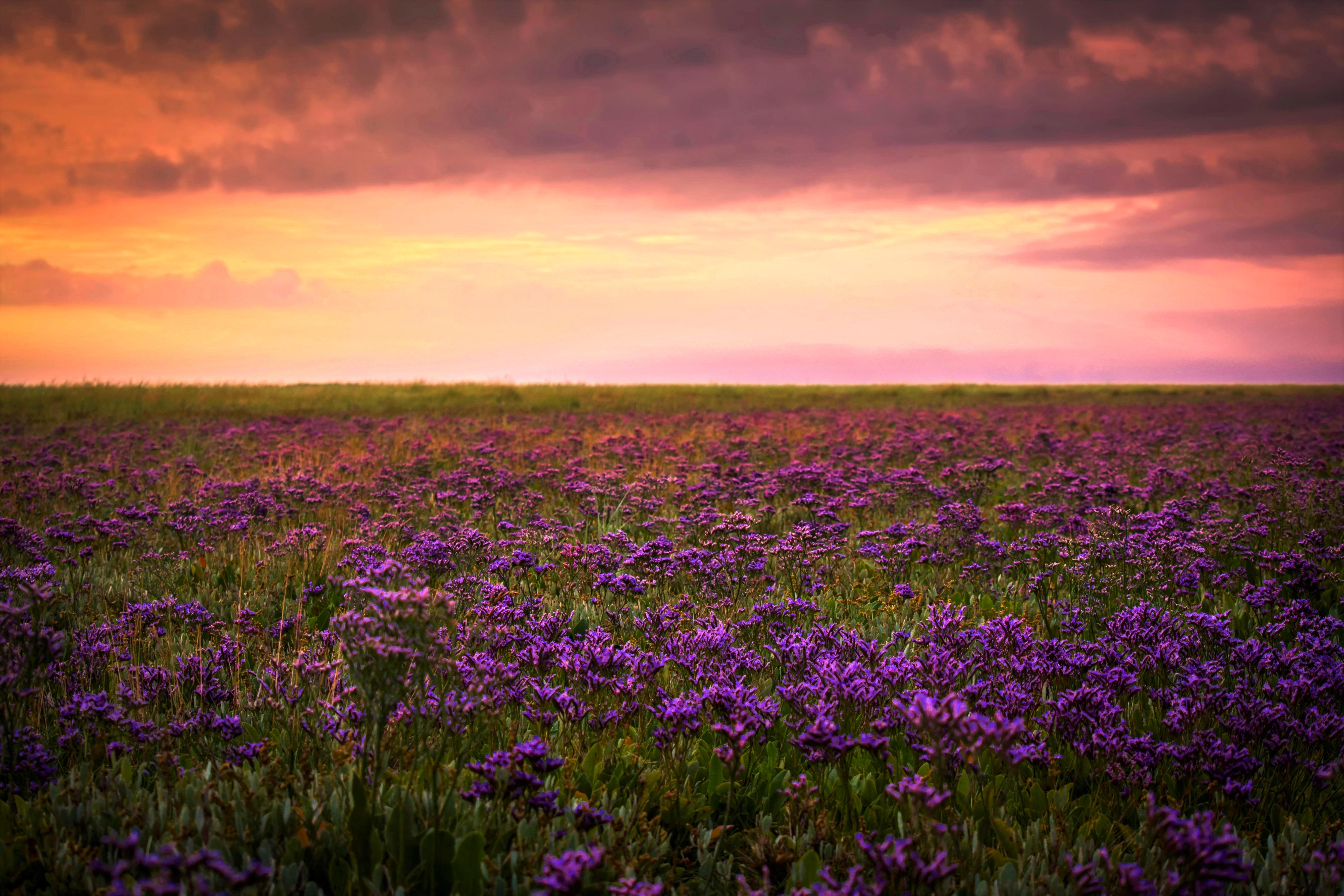 Sea Lavender 2
