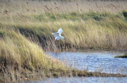 Egret at Saltfleet