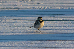 Pied Wagtail 12