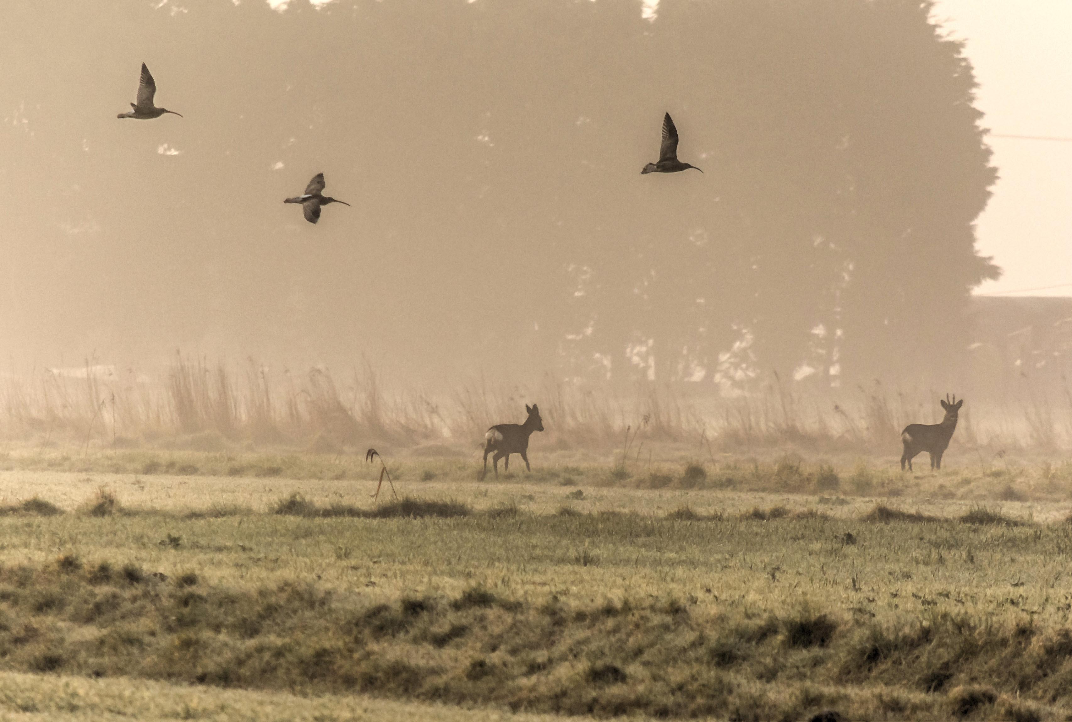 Deer and curlews 10