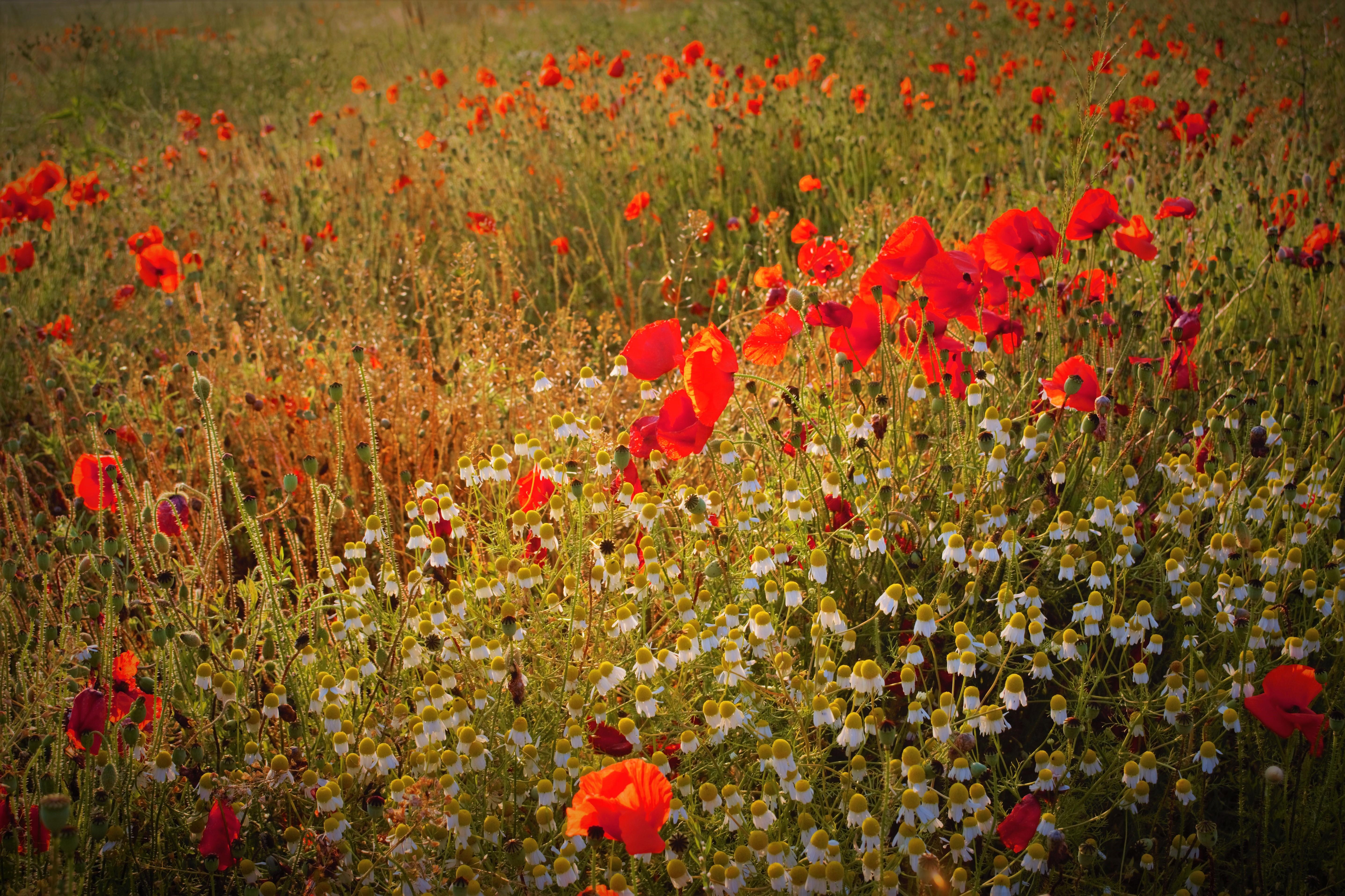 Poppies 18