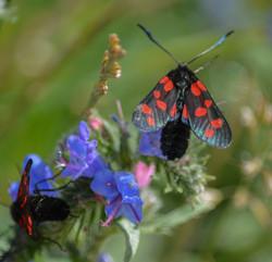 Six Spotted Burnet Moth 5