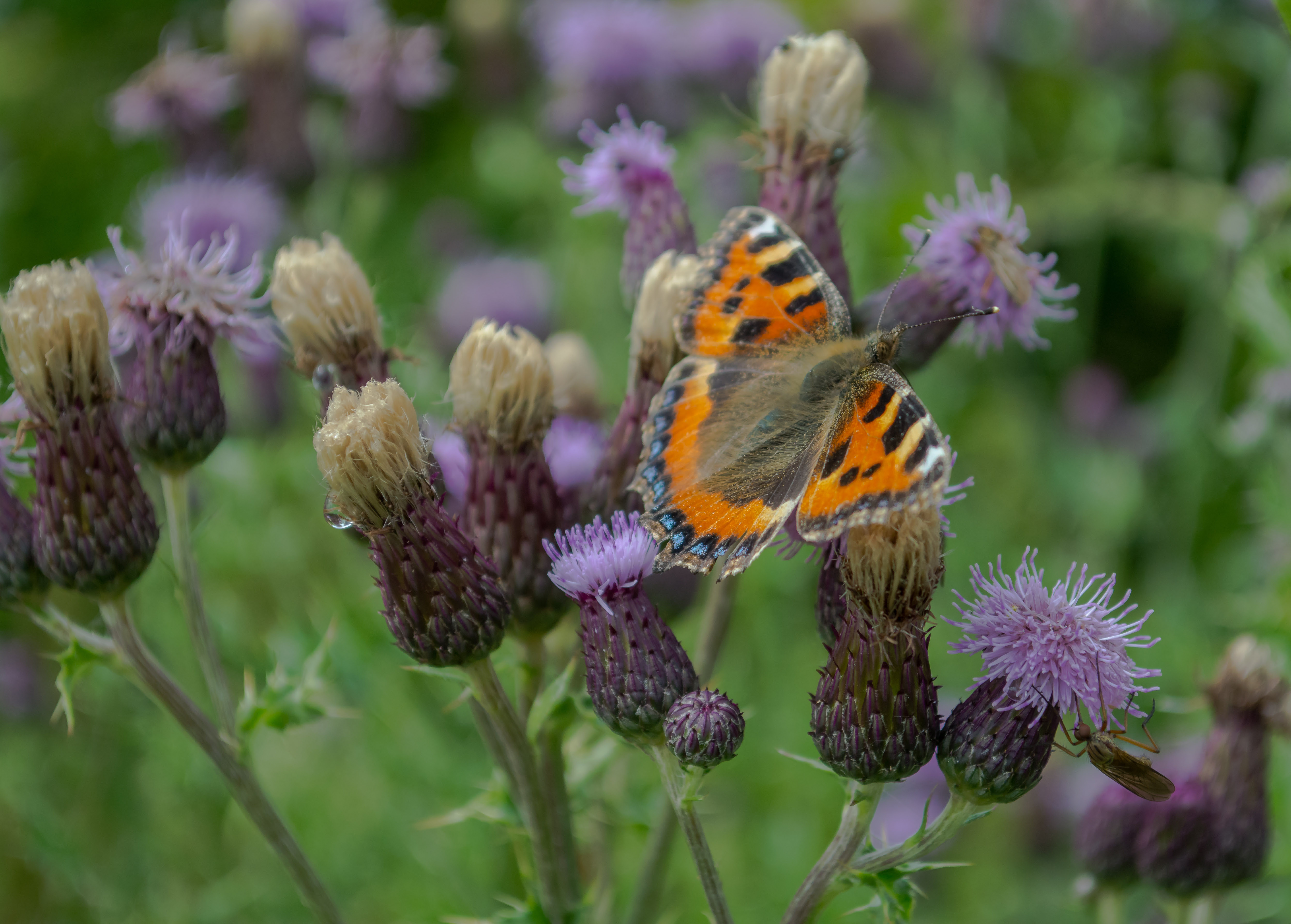 Butterfly on thistles 20