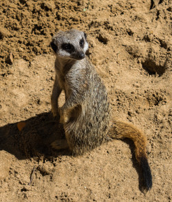 Meerkat 4