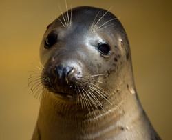 Seal Closeup 2